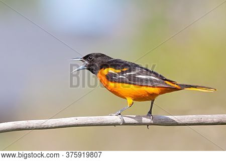 With Its Beak Wide Open, A Baltimore Oriole Chirps A Song With While Perched On A Branch.