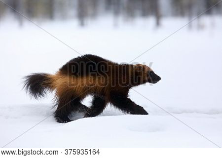 The Wolverine (gulo Gulo) On The Snow.wolverine Runs Along A High Snow Mound In The Nordic Forest. B