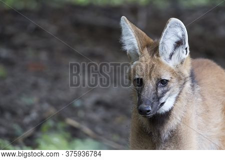 Maned Wolf A Portrait In The Wild