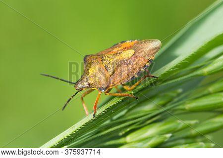Brown-yellow Insect Carpocoris Purpureipennis On Green Blades Of Grass