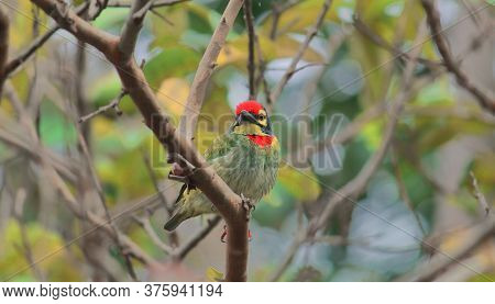 Male Coppersmith Barbet Or Crimson Breasted Barbet (psilopogon Haemacephalus) Perching On A Tree, Ra