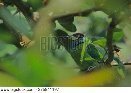 Camouflage Of Blue Throated Barbet Bird (psilopogon Asiaticus) With Lush Foliage In A Rainforest Of