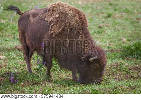 Young Bison Closeup On A Sunny Summer Day