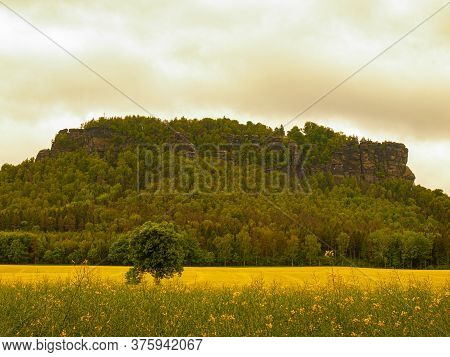 Rapeseed Fields Panorama With Solitaire Tree, In The South Of The Czech Republic At Sunrise. Bloomin