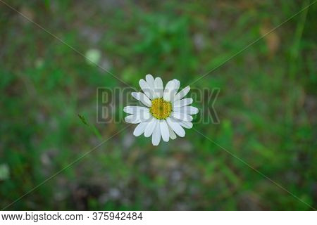 Flower Of A Forest Daisy On A Blurred Background Of Grass .