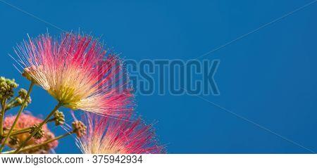 Albizia Julibrissin Or Lankaran Acacia Pink Flower On Green Background. Selective Focus Flower Of La