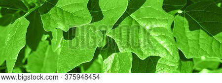 Coniferous Tree Backlight Natural View Of The Forest. Horizontal Banner