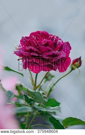 Red Rose Pride Of England Blooming In Roses Garden