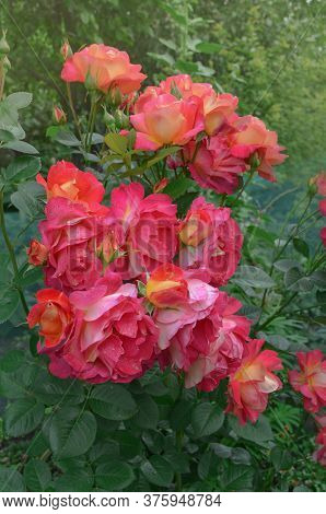 Blooming Red Rose Circus. Red Flowering Rosa.