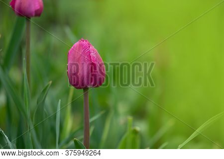 Violet Double Colorful Beautiful Tulip. Tulip Purple Peony