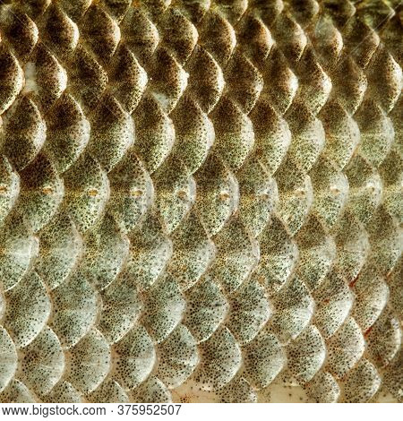 Fish Scales Skin Texture Macro View. Geometric Pattern Photo Crucian Carp Carassius Scaly With Later