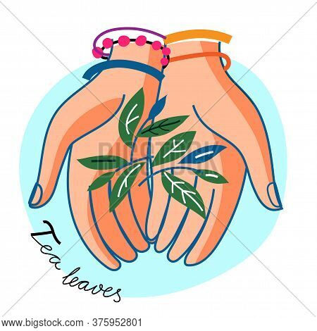 Woman Hand Hold Tea Leaves On Blue Round Backdrop. Human Palm With Botanical Herbal Natural Sprig. G