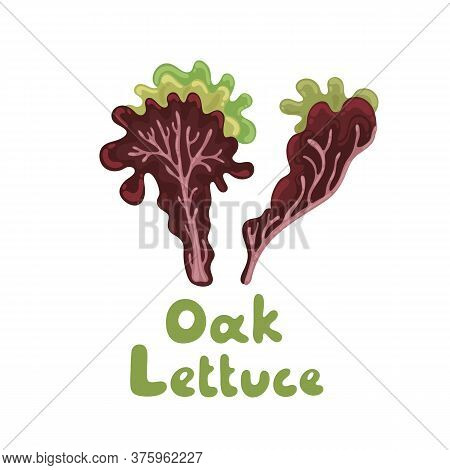 Oak Leaf Lettuce Salad Leaves, Healthy Organic Vegetarian Food. Vector Stock Illustration On A White