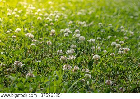 White Clover Blooms In The Grass On The Lawn, Meadow Or Pasture With Green Fresh Grass, Soft Focus