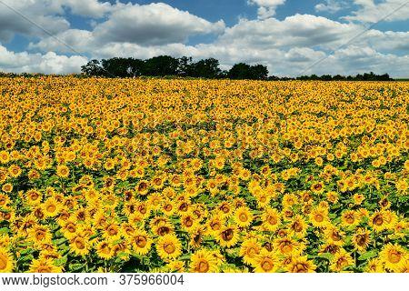 Sunflower Field Landscape, Yellow Flower Heads In Bloom