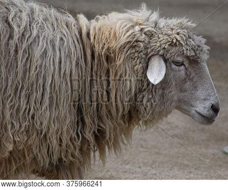 Side Profile Of A Cute Wooly Sheep In A Farmyard.