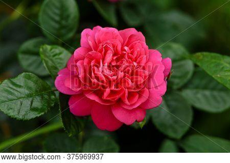 English Rosa Princess Anne David Austin Rose Bush In Summer Cottage Garden