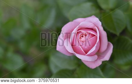 Aphrodite Hybrid Tea Rose In English Garden, A Beautiful Single Mid Pink Rose With Medium Fragrance,