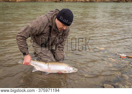 Kalum River, British Columbia, Canada - April 11th, 2017: An Angler Releasing A Steelhead, Rainbow T