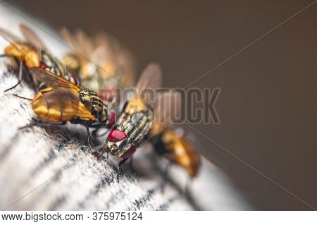 Group Of Housefly Close Up Macro Shot. The Housefly Is A Fly Of The Suborder Cyclorrhapha, And Has S