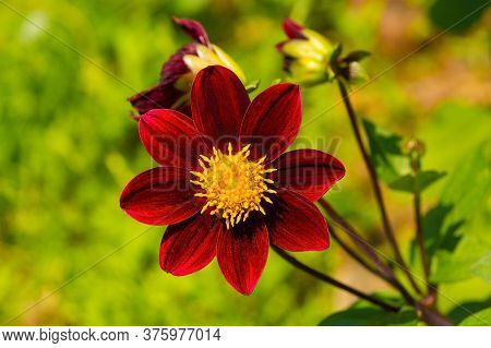 A Bishop Of Auckland Dahlia, Commonly Called A Single Flowered Dahlia, A Perrenial Tuber Growing In