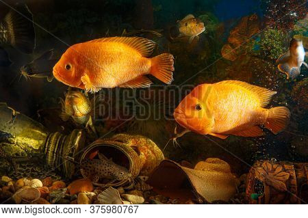 Dreamlike Underwater World In An Aquarium. Large Freshwater Fish Swim In The Aquarium.
