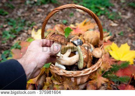 Mushrooms Picking.  Autumn Mushrooms. Hand Of Man Holds Porcini Above Full Basket.