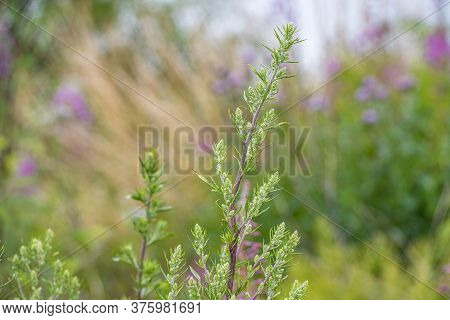 A Closeup Picture Of Green And White Wildflowers. Blurry Green And Blue Background. Picture From Sca