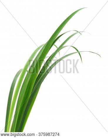Green Grass Leaves.