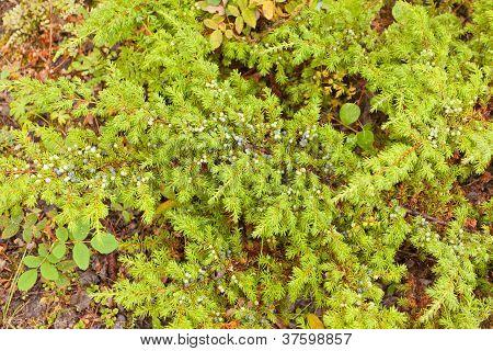 Wild juniper shrub Juniperus communis with berries