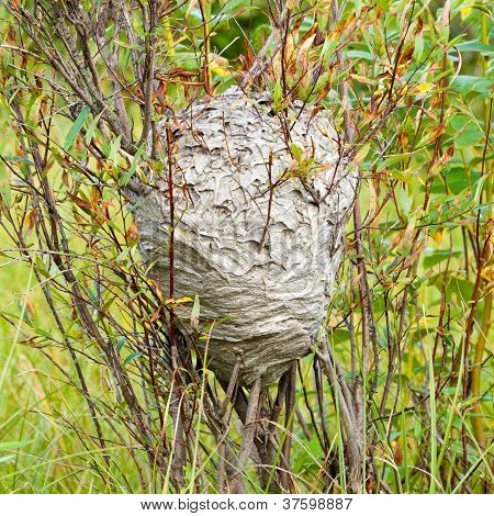 Grey wasps nest in willow bush