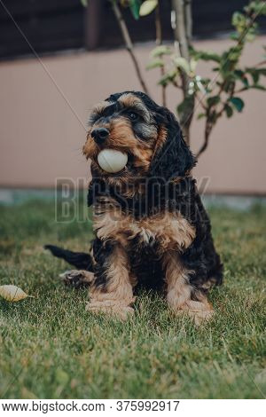 Cute Two Month Old Cockapoo Puppy In A Garden, Holding Ping Pong Ball He Stole While The Owners Were