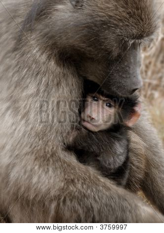A mother baboon cradles a cute vulnerable baby with a human-like gaze. poster