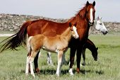 two mares stand in open country with their baby horses poster
