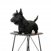 Black scottish terrier grooming against white background poster