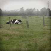 Black and white cows on the farmland in Belgium with the fog on the background poster