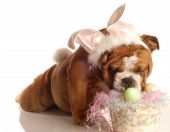 english bulldog dressed up as the easter bunny poster