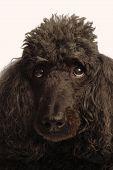 black standard poodle - senior dog champion bloodlines poster