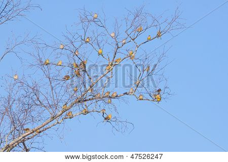 Bunch Of Yellowhammer Birds Sitting On Tree