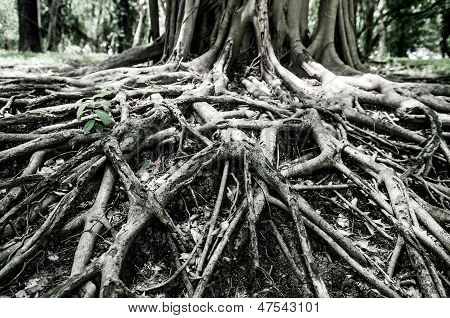 Closed Up Big Tree Roots