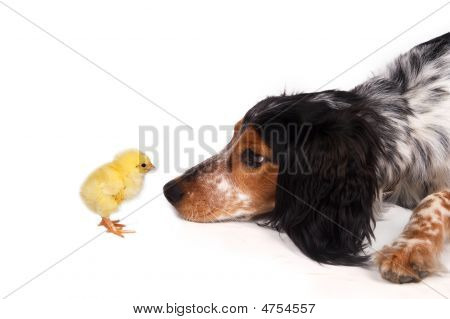 Curious Dog And Chick