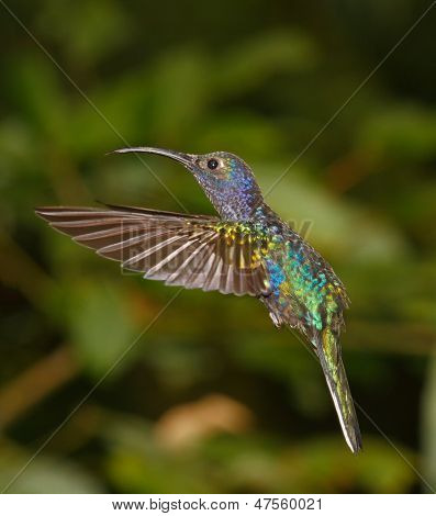 Violet Sabrewing Hummingbird during flight, Costa Rica Cloud Forest poster