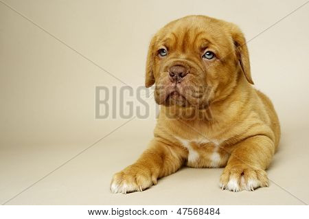 Dogue De Boudeux Puppy Laid On A Cream Background