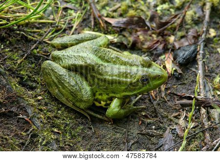 Frog on the algae in the pond poster