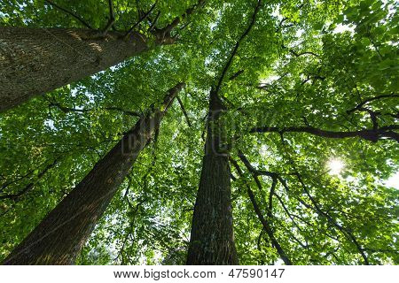Forest Scene; Trunks And Canopy of Three Large, Tall Deciduous Tulip Trees