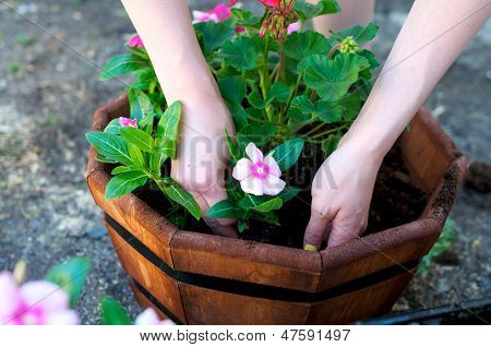Hands Place Pink Flower In Octagonal Planter