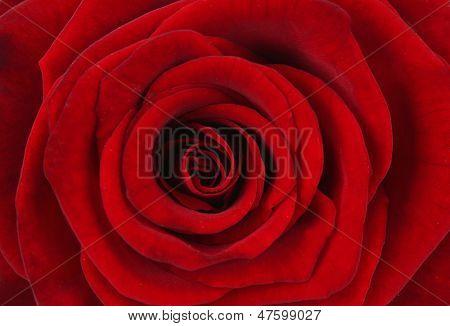 Beautiful red rose, close up