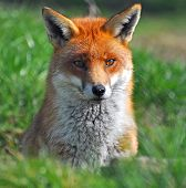 Red fox hunting for prey on a light green background. poster