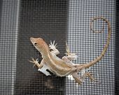 Close up of a shedding Lizzard with lose skin hanging poster