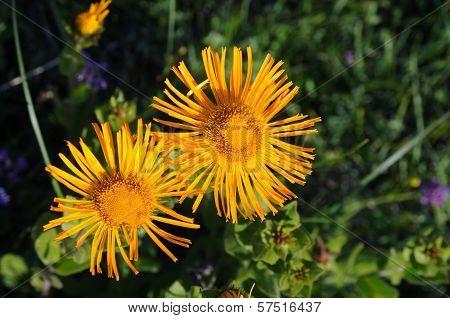 Yellow Flowers - Horseheal (inula)